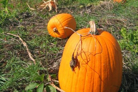 Peer Buddies Take On the Pumpkin Patch