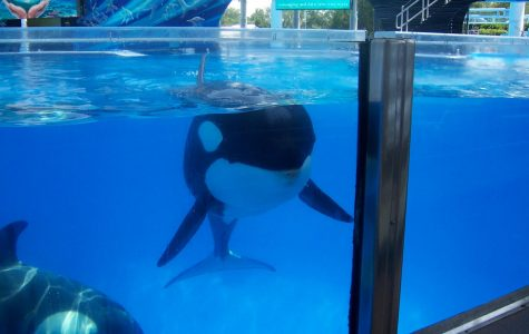 The Truth About Orcas Kept in Captivity