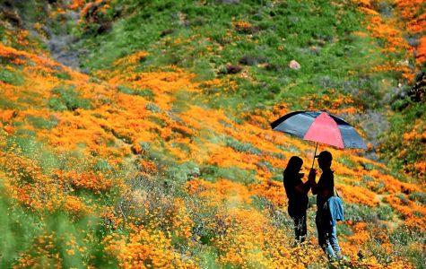 Lake Elsinore Poppy Flowers