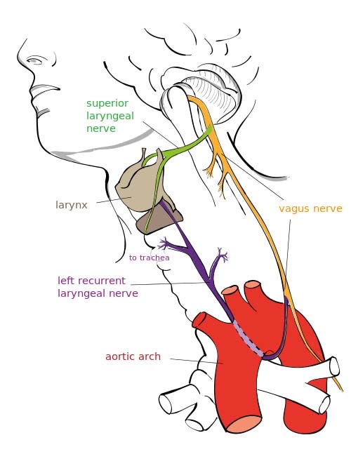 The+Vagus+Nerve