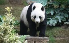 Why I Like Pandas More Than Any Other Animal