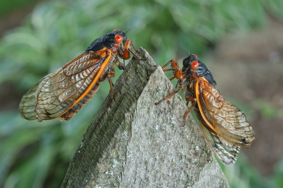 Periodical Cicadas to Reemerge After Being Underground for 17 Years